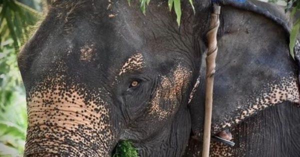 Ελέφαντας δεμένος με αλυσίδες επί 40 χρόνια επιτέλους κλαίει από χαρά