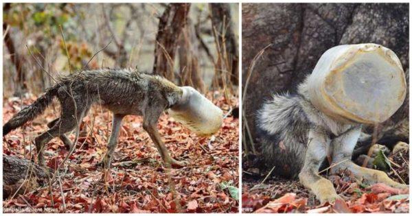 Άνθρωποι βρήκαν λύκο με πλαστικό δοχείο σφηνωμένο στο κεφάλι του και τον έσωσαν λίγο πριν πεθάνει από την πείνα